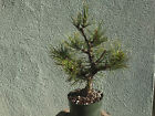 Japanese black pine bonsai stock8pn6114Nicemovementbranching