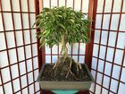 FICUS PHILLIPPINENSIS BONSAI APROX 15YEARS OLD AMAZING 10ROOTS OVER ROCK