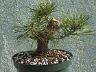 Japanese black pine bonsai stock8pn119Nice largeshortmovementshohin