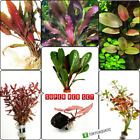 Live Aquarium Plant Super Red Set Package Freshwater Decorations Fish Tank Bunch