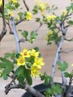 Nice Dwarf Ribes Golden Current Flowering Pre Bonsai Yellow Flowers In Bloom