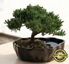 Zen Juniper Bonsai Tree Little Garden Live Japanese Pot Indoor Decoration Desk