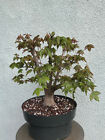 Trident maple bonsai stock8tri316stBroom stylenice trunk