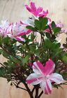 Rare Satsuki Azalea Hybrid Flowering Bonsai Tree Shohin Neon Pink Bi Colored