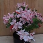 Satsuki Azalea Hybrid Flowering Bonsai Tree Red  White Stripes IN BLOOM HTF
