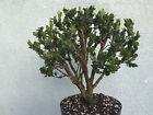 Japanese boxwood bonsai stock8box417stNice broom style tree
