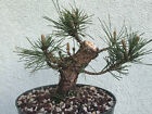 Japanese black pine bonsai stock8pn417stNice trunkshohin size tree