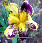 YELLOW IRIS SEED Pacific Coast Iris Flowers Seeds 100 SEED