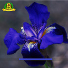 BLUE IRIS SEED Pacific Coast Iris Flowers Seeds 100 SEED