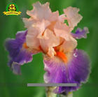 PINK PURPLE IRIS SEED Pacific Coast Iris Flowers Seeds 100 SEED