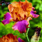 Iris Seeds Popular Perennial Garden Flower Gorgeous ORANGE PURPLE ORCHID 50 SEED