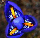 Rare Orchid Seeds Mixed Iris Seeds orchids indoor plants 100 SEED BLUE