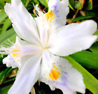 Rare Orchid Seeds Mixed Iris Seeds orchids indoor plants 100 SEED WHITE