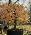 Green Japanese Maple SPECIMEN BONSAI Tree Big Thick HUGE Trunk Momiji Movement
