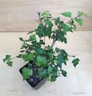 Crataegus Washington Hawthorn Flowering Pre Bonsai Tree Red Berries Fall Color