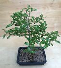 Chinese Pepper Tree Indoor Bonsai Small Leaf Glossy Green Leaves Evergreen