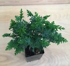 RARE Hinoki Cypress Pre Bonsai Shohin Evergreen Emerald  Lime Green Conifer