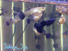 2 Pairs of Magic Black and Blue Guppies 1 month or older.
