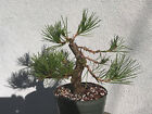 Japanese black pine bonsai stock8pn98Nice movementtaperbranchingshohin