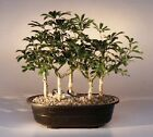 Hawaiian Umbrella Bonsai 5 Tree Forest Group Indoor Bonsai Combo 5 to 8 yrs old