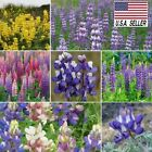100++ MIXED RUSSELL LUPINE Lupinus Polyphyllus Flower Seed  USA SELLER