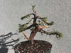 San Jose juniper bonsai stock8sj1030Nice movementjinsrecently wired