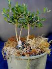 bonsai tree live olive 3 mini trees rare landscape style 6 high in or out