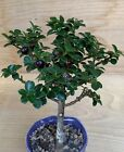 Dwarf Miniature Holly Pagoda Miniature Bonsai Tree Mame Evergreen