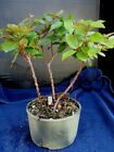 bonsai tree live Japanese blueberry trees 8 yrs10 high