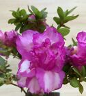 Double Azalea Flowering Bonsai Tree Mame Shohin