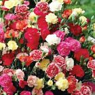 100++ Seeds CARNATION DIANTHUS CHABAUD MIX FREE SHIPPING DOUBLE BLOOMS