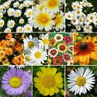 DAISY CRAZY DAISY FLOWER 200 Seeds MIX 10 Species of Wildflower USA SELL