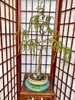 Cypress Bonsai Tree 5+Years Old Great Trunk With 4 Roots Spread