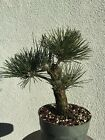 Japanese Black Pine Bonsai Stock0pn211stnice Shohin Size