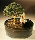 Flowering Mount Fuji Bonsai Tree Land Water Pot Small serissa foetida