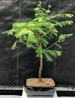 Redwood Bonsai Tree metasequoia glyptostroboides
