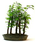 Dawn Redwood metasequoia Forest Bonsai supplied with a free 1 to 1 bonsai le