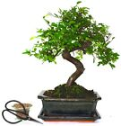 Large Chinese Elm Bonsai Tree S trunk supplied with Care set  drip tray