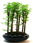 Dawn Redwood metasequoia 7 tree Forest Bonsai supplied with a free 1 to 1 bo