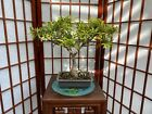 Ficus Salicifolia Nerifolia Bonsai Tree 1 3 4 Trunk 4 Roots Spread