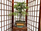 Tamarind Bonsai Tree With Some Nice Movement And A Great Chinese Pot
