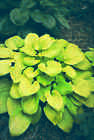 50 'Rich Uncle' Hosta seeds. Tetraploid gold with thick pebbly leaves.