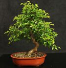 Korean Hornbeam Bonsai Tree with fantastic trunk movement 55cm