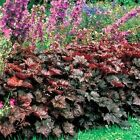 Coral Bells- (Heuchera Micrantha) Palace Purple - 50 seeds