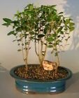 Yaupon Holly Will Fleming 3 Tree Forest Group Outdoor Bonsai 4 yr 16 18 T