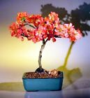 Bonsai Japanese Flowering Quince Super Red Deciduous Outdoor 8 yr 10 12 T