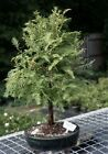Dawn Redwood Bonsai Tree metasequoia glyptostroboides 8 yrs 13 16 tall