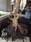 Massive Trunk Trident Maple Tree Pre Bonsai Stock