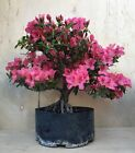 Duc de Rohan Specimen Azalea Flowering Pre Bonsai Big Thick Huge Trunk