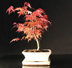 Japanese Maple 25 30 cm Bonsai tree in ceramic pot with Drip tray